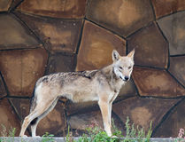 Wolf stands on the stone wall background Stock Photos