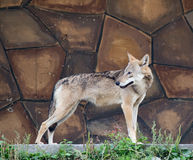Wolf stands on the stone wall background Stock Photography