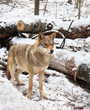 The wolf stands between the trees Royalty Free Stock Photography