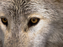Wolf Stare Stock Image