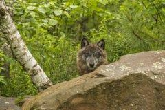 Wolf Stare imagem de stock royalty free