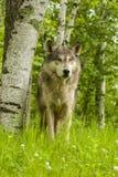 Wolf Stare fotografia de stock royalty free