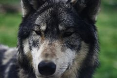 The Wolf Stare. The stare of a Grey Wolf Stock Photos