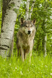 Wolf Stare Royalty Free Stock Photography
