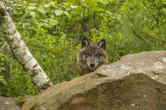 Wolf Stare Royalty Free Stock Image