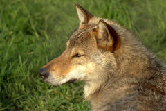 Wolf. Staring in the sunset Royalty Free Stock Photos