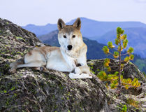 Wolf on stone in wildness area Stock Photo