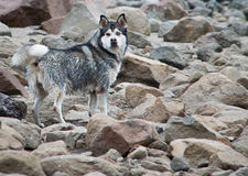 Wolf on stones Royalty Free Stock Photo