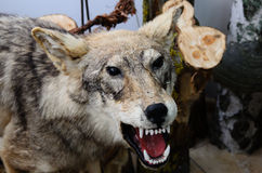 Wolf. Stuffed wolf is in the Museum of the national Park Curonian spit in the Kaliningrad region, Russia Royalty Free Stock Images