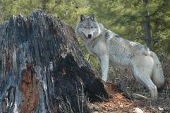 Wolf and Stump. Grey wolf standing beside a tree stump Stock Images