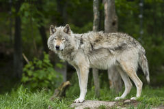 Wolf in summer Royalty Free Stock Image