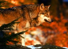Wolf sunrise. European wolf in Bavarian national park forest Stock Images