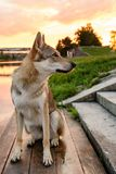 Wolf at sunset. Beautiful wolf at the river at sunset royalty free stock images