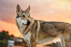 Wolf at sunset. Beautiful wolf at the river at sunset royalty free stock photos