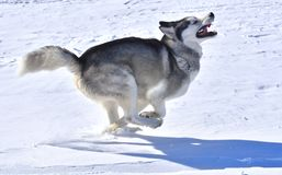 The wolf swiftly runs across the snow-covered plain Royalty Free Stock Photography