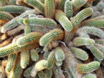 Wolf Tail Cactus Stock Photo
