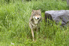 Wolf in Tall Grass Stock Photography