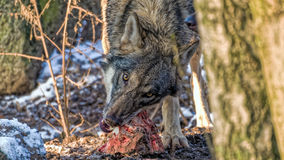 Wolf tearing meat off a spine Royalty Free Stock Photos