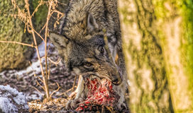 Wolf tearing meat off a spine Stock Photography