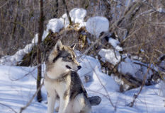 Wolf in the thicket of the forest. House of a wolf in thick thicket of forest Royalty Free Stock Photo