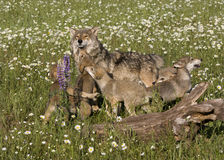 Wolf Tolerates Playful Puppies Royalty Free Stock Photography