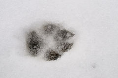 Wolf Track Royalty Free Stock Image