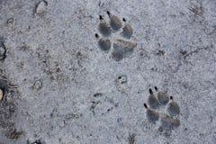 Wolf Track Prints Canadian Rocky-Bergwildernis stock foto