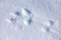 Wolf track in snow Royalty Free Stock Photography