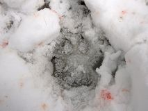 Wolf track in the snow,. Wolves trail in snow and blood, Canis lupus Stock Images