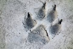 Wolf Track Prints Canadian Rocky Mountain Wilderness. Wolf Track Wilderness Prints in the Mud of Howse River Flats Banff National Park Canadian Rocky Mountains Stock Photo