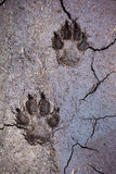 Wolf tracks. In cracked mud Royalty Free Stock Photo