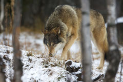 Wolf tracks prey in the winter Stock Photography