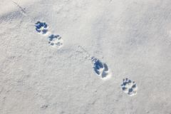 Wolf Trail or Footprints in the Snow in the Early Morning.  royalty free stock photography