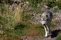 Wolf on Trail - Right Side stock images