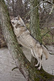 Wolf in a Tree Stock Photos