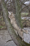 Wolf in a Tree Stock Photo