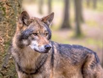Wolf in between of trees of forest. European Wolf (Canis lupus) sideview in natural tree forest habitat looking to side Stock Images