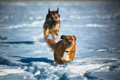 Wolf trying to eat little dog. German shepard dog running in snow after small dog Royalty Free Stock Photos