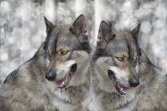 Wolf. Royalty Free Stock Photo