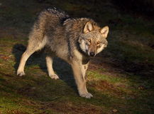 Wolf. Typical standing of gray wolf Stock Photos