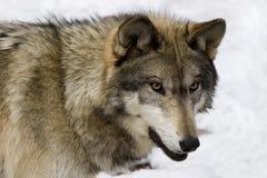 Wolf V van het hout Stock Afbeeldingen