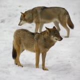 Wolf van Bialowieza/Polen Royalty-vrije Stock Afbeelding