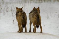 Wolf van Bialowieza/Polen Stock Afbeeldingen