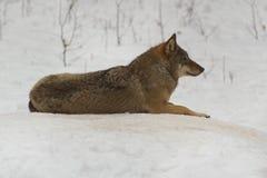 Wolf von Bialowieza/von Polen Stockfotos
