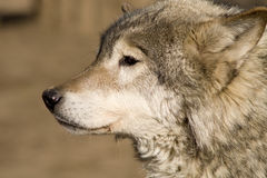 Wolf waiting for a prey. Brown wolf waiting for a prey Stock Photography