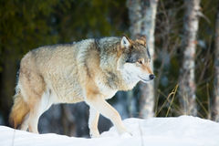 Wolf walking in the cold winter forest Stock Images