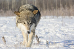 Wolf walking and hunting for prey
