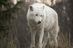 Wolf Walking In Snow ártico Foto de archivo libre de regalías
