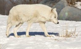 Wolf Walking In The Snow blanco Imagen de archivo