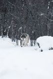 Wolf walking in the winter forest Stock Images